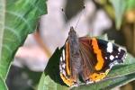 motyle-55